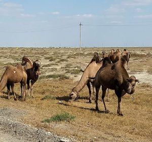 ACHTUNG! - Kamele queren