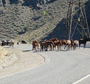 Viehherden versperren den Weg