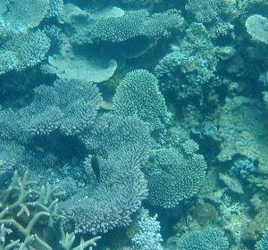 k-coral1